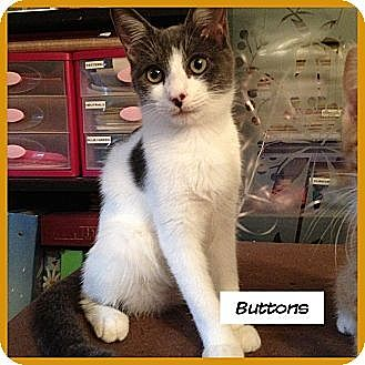 Domestic Shorthair Kitten for adoption in Miami, Florida - Buttons
