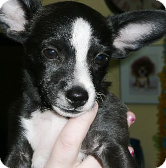 Rat Terrier/Jack Russell Terrier Mix Puppy for adoption in Thousand Oaks, California - Pepsi