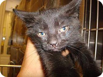 Domestic Shorthair Cat for adoption in Miami, Florida - Nikki