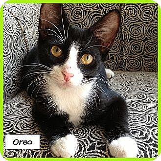 Domestic Shorthair Kitten for adoption in Miami, Florida - Oreo