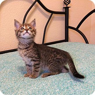 Domestic Mediumhair Kitten for adoption in Plano, Texas - CLOVER - CUTE & SWEET