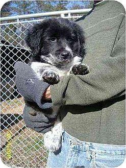 Corgi/Spaniel (Unknown Type) Mix Puppy for adoption in South Burlington, Vermont - Bhodi