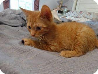 Domestic Shorthair Kitten for adoption in Colmar, Pennsylvania - Nacho
