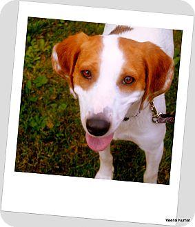 Foxhound Dog for adoption in Toronto/GTA, Ontario - STAR