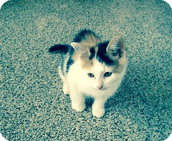 Calico Kitten for adoption in Toledo, Ohio - Roxie
