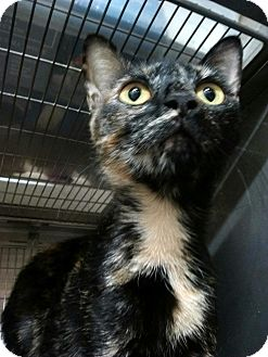 Domestic Shorthair Cat for adoption in Trevose, Pennsylvania - Autumn