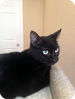 Domestic Shorthair Cat for adoption in Las Vegas, Nevada - Mamba