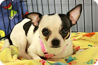 Chihuahua Dog for adoption in New Richmond,, Wisconsin - Romeo