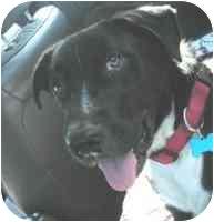 Labrador Retriever Mix Dog for adoption in Portsmouth, Rhode Island - Sam