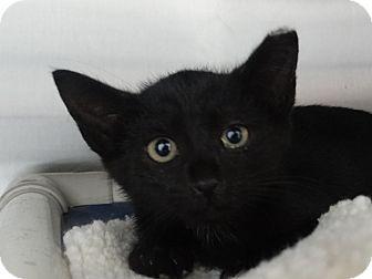 Domestic Shorthair Kitten for adoption in Elyria, Ohio - Frodo