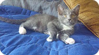 Domestic Mediumhair Kitten for adoption in New Port Richey, Florida - Violet