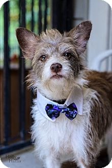 Terrier (Unknown Type, Small) Mix Dog for adoption in Baton Rouge, Louisiana - Scruff