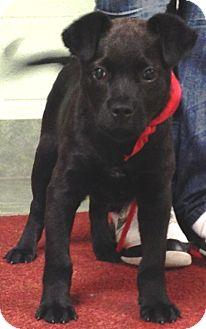 Labrador Retriever Mix Puppy for adoption in Ada, Oklahoma - KOBI