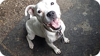 American Bulldog/English Pointer Mix Dog for adoption in Davisburg, Michigan - Zena Pets 4 Vets