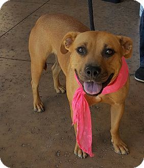 Pit Bull Terrier/Shepherd (Unknown Type) Mix Dog for adoption in Las Vegas, Nevada - Leia