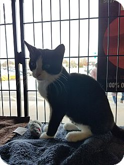 Domestic Shorthair Kitten for adoption in Exton, Pennsylvania - Dolly