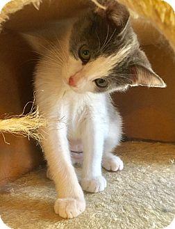 Domestic Shorthair Kitten for adoption in Oakdale, California - Annie