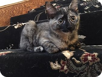 Domestic Shorthair Kitten for adoption in Arlington/Ft Worth, Texas - Mouse