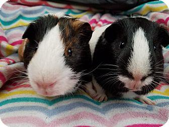 Guinea Pig for adoption in Harleysville, Pennsylvania - Batman and Robin
