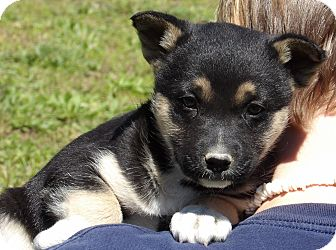 Akita/Australian Shepherd Mix Puppy for adoption in Niagara Falls, New York - Pixie (6 lb) Video