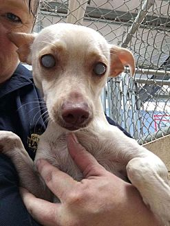 Chihuahua Mix Dog for adoption in Willows, California - Glinda