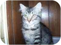 Domestic Mediumhair Kitten for adoption in Grand Rapids, Michigan - Pauline