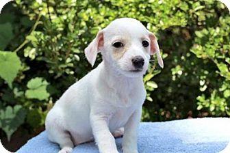 Yorkie, Yorkshire Terrier Mix Puppy for adoption in Hagerstown, Maryland - PUPPY BINKIE
