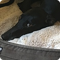 Greyhound Dog for adoption in Cape Coral, Florida - Limu