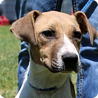 Boxer/Shepherd (Unknown Type) Mix Puppy for adoption in Southbury, Connecticut - Carolyn ~ meet me!