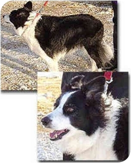 Border Collie Dog for adoption in Stephentown, New York - Daisy