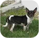 Rat Terrier Mix Dog for adoption in Jacksonville, Florida - Hailey