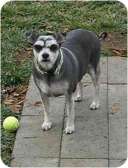Schnauzer (Miniature) Mix Dog for adoption in Meridian, Idaho - Tessey