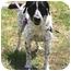 Photo 1 - Labrador Retriever/Pointer Mix Dog for adoption in Walker, Michigan - Reggie
