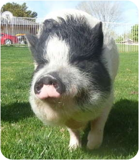 Pig (Potbellied) for adoption in Las Vegas, Nevada - Miss Piggy