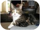 Domestic Shorthair Cat for adoption in Vancouver, British Columbia - Liger