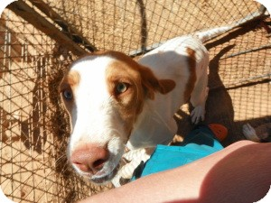 Brittany/Vizsla Mix Puppy for adoption in Roosevelt, Utah - Opie