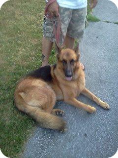 German Shepherd Dog Dog for adoption in Rochester/Buffalo, New York - Sarge - Courtesy Post