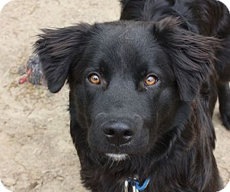 Labrador Retriever Mix Dog for adoption in kennebunkport, Maine - Harley - PENDING, in Maine