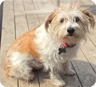 Maltese Mix Dog for adoption in Norwalk, Connecticut - Bianca - adoption pending