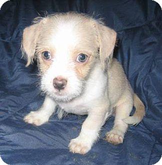 Shih Tzu/Chihuahua Mix Puppy for adoption in Chandler, Arizona - Pip