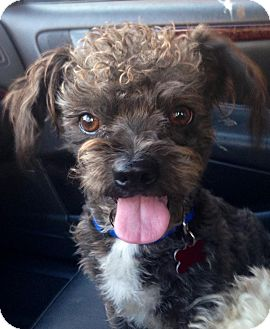 Poodle (Miniature)/Terrier (Unknown Type, Small) Mix Dog for adoption in Encino, California - Jamal