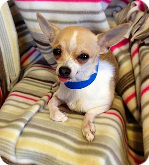 Chihuahua Mix Puppy for adoption in Waldorf, Maryland - Pico
