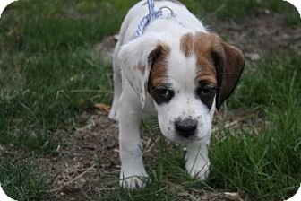 Beagle/English Bulldog Mix Puppy for adoption in Broomfield, Colorado - Beckett
