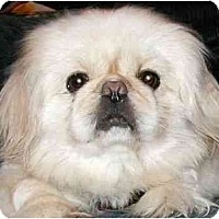 Adopt A Pet :: Snowball - Mays Landing, NJ