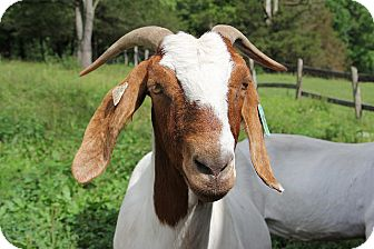 Goat for adoption in Saugerties, New York - Emma