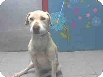 Labrador Retriever Dog for adoption in West Los Angeles, California - Daisy