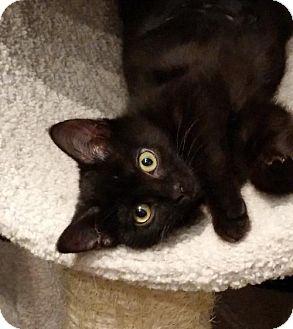 Domestic Shorthair Kitten for adoption in HILLSBORO, Oregon - Magic