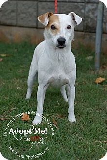 Jack Russell Terrier Dog for adoption in Wisconsin Dells, Wisconsin - Hoover