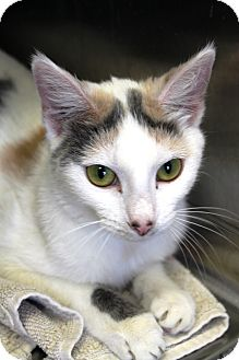 Domestic Shorthair Cat for adoption in Kalamazoo, Michigan - Daizy
