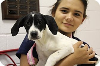 Pointer Mix Puppy for adoption in Elyria, Ohio - Oreo
